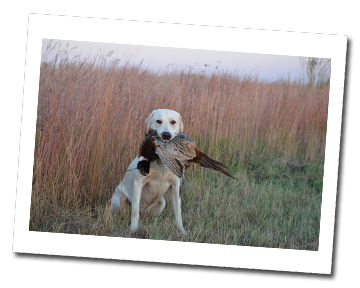 Rocky with Pheasant